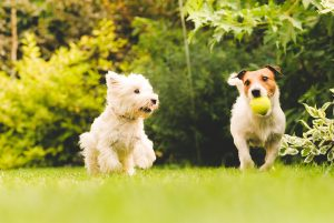 dogs running outside, one with a ball in it's mouth