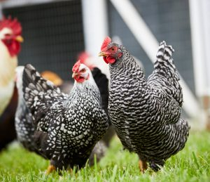 laying hens outside in the grass