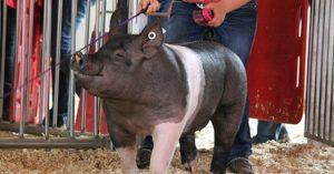 show pig in the show ring