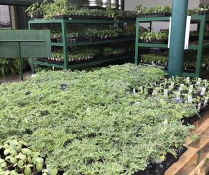blue bonnet plants